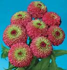 Zinnia Queen Red Lime    1,000 seeds  Need More? Ask