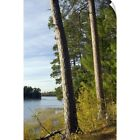 Wall Decal entitled Red pine trees growing along Lake Itaska, Itaska State Park,