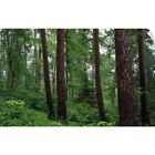 Wall Decal entitled Red pine trees in old-growth forest, Preachers Grove, Itaska