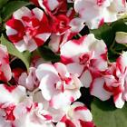 Outsidepride Impatiens Red Flash Flower Seeds