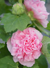 PICK & MIX 20x HOLLYHOCK Quality FLOWER Seed Alcea Rosea CHATERS DOUBLE BEE LOVE
