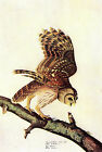 "Barred Owl  -by John James Audubon -20""x26"" Art on Canvas"