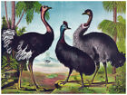 Decor Wild Life Poster Interior Graphic Art.Ostriches.Home Wall Design.1196