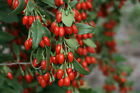 GOJIBERRY Seeds, Cleaned Out Of Pods,Wolfberry,Lycium barbarum 100,200,400,1000