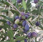 Olea Europea - Olive Tree in a 1L pot - potential bonsai subject