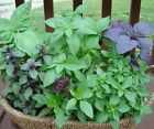 MIXED BASIL - 300 seeds (HERITAGE)