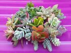 10/20/30 Variety Succulent Cutting Bonsai Echeveria Sedum Crassula FREE SHIPPING cheap