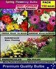 FREESIA BULBS: Freesia + Ranunculus + Anemones =105 x Bulbs - PACK  2
