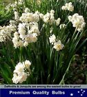 DAFFODILS  BULBS: # JONQUIL / ERLICHEER - Highly Perfumed