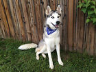 """Cotton Bandana Collar for Medium Dog 14"""" to 17"""" Neck Size Red Blue Metal Buckle"""