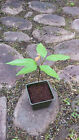 "Various Sizes 12""-30"" Rambutan Tree Seedlings Nephelium Lappaceum FROM HAWAII"