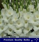 SPRING FLOWER-  HYACINTHS  Lavender Colour BULBS -Highly Perfume