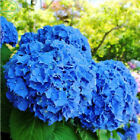 Hydrangea Flower Seeds Variety Balcony Garden Home Yard Fort Viburnum r85 30 Pcs
