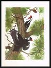1950's Old VINTAGE Piliated Woodpecker Wood Peckers Bird Art PRINT