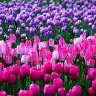 7 Colors Perfume Tulip Seed Decor Flower Bonsai Seeds Home Garden Potted OO55