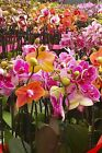 Phalaenopsis Orchid Hybrid Assorted (Live Houseplant, Home Decor)