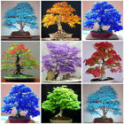 Внешний вид - 1x30Pcs Multi-color Maple Bonsai Tree Seeds Beautiful Indoor Bonsai Plant Potted