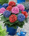 Rare mixed color flower seeds 20pcs Hydrangea seed,Hydrangea macrophylla flower