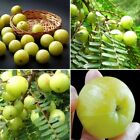 AMLA PLUM 300 SEED PHYLLANTHUS EMBLICA INDIAN GOOSEBERRY MEDICINE COUGH SEED NEW
