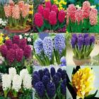 50/100PCS Colorful Hyacinth Flower Seeds Bulb Plants Seed Home Garden KFBY 01