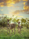 Zebra Mother and Baby - Animal Photograph Nature Wall Art Poster Print Wildlife