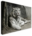 LARGE White Tiger Laying Canvas Wall Art Pictures For Home Interiors