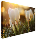 Large White Tulips In The Rain Flower Canvas Wall Art Pictures
