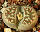 Lithops Dorotheae  rare succulent seeds~Living stones Seeds
