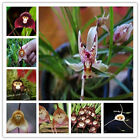 10Pcs Monkey Face Orchid Flower Seeds Phalaenopsis Bonsai Plants Flower Seeds