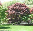RED JAPANESE  MAPLE TREE with light branches