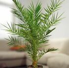 1 Phoenix Canariensis Canary Island Date Palm Tree in Pot Garden Outdoor Plant