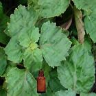 Patchouli Essential Oil - 100% Pure and Natural - Free Shipping - US Seller!