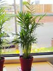 1Pot Upright Palm Parlour Chamaedorea Evergreen House Office Plant Bamboo Family