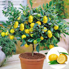 10pcs Heirloom Garden Lemon Seeds Tree Fruit Outdoor Plant Rare Organic Seed