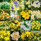 SPRING FLOWERING BULBS  | Snowdrops | Bluebells | Daffodils |