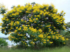 100 Peltophorum dubium Seeds, Yellow Poinciana, Copperpod, Yellow Jacaranda