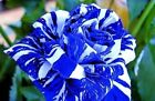 Blue Stripe Dragon Rose Seeds Rare Garden Blue Rose Seeds - AUS Stock
