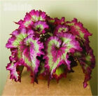 50pcs Rare Exotic Color Begonia Seeds Bonsai Flower Indoor Balcony Coleus Seeds
