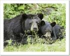 Black Bear And Cub Art Print Home Decor Wall Art Poster - C