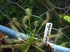 200+ Fresh seed Drosera capensis ALBA/GREEN cape sundew carnivorous plant!
