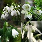 New Adorable Flower Fragrant Seeds Blooms Lily of the Valley Seeds EO56