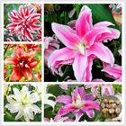 Lily Bulbs Seeds Flower Amaryllis Barbados Hippeastrum Seed Plant Home Garden