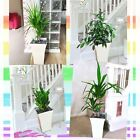 1 Evergreen Large House Plant @ Gloss White Square Milano Pot Office Indoor Tree
