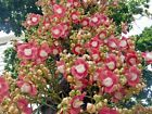 15 Couroupita guianensis Seeds, Cannonball tree Seeds