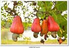 Cashew Nuts Growing On A Tree. Art/Canvas Print. Poster, Wall Art, Home Decor