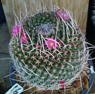 Mammillaria mystax Clumping Golf Balls Long White Spines Form Cactus