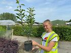 Photinia Red Robin 3 Litre Pot 60cm Tall, Evergreen hedging