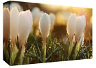 Crocus Flowers in the Rain Cotton Canvas Wall Art Picture Print - A1, A2 +sizes