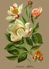 White Peony - Paeonia albiflora - botanical flower print in 3 sizes
