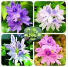 New Water Hyacinth Seeds, Best Germinate Pond Aquarium Seeds - 200pcs